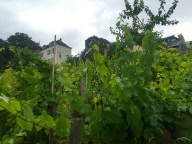 Vineyard in the heart of Montmartre... not as impressive as it sounds.